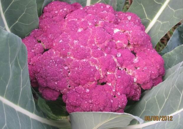 Необычная цветная капуста – самый поздний урожай
