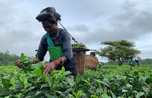 Мир ожидает подорожание индийского чая