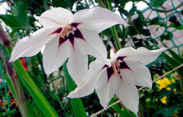 Многолетний садовый цветок Ацидантера (Acidanthera)