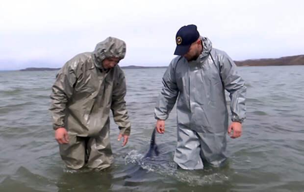 Во Владивостоке спасли застрявшего на отмели старого дельфина