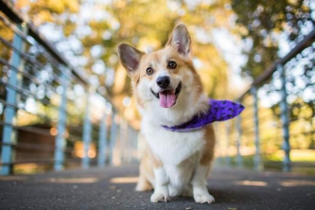 Порода собак вельш-корги