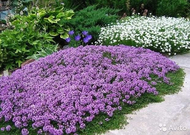 Картинки по запросу многолетние низкорослые цветы для клумбы