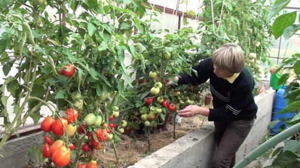 Топ 3-х подкормок для помидор и огурцов! Хозяйкам записать обязательно!