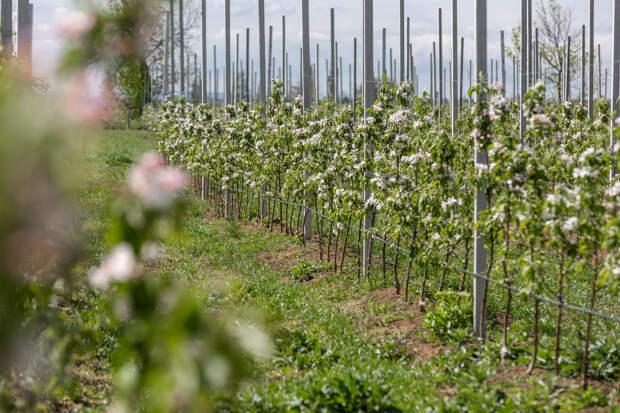 Ждём урожай? Суперинтенсивный яблоневый сад КФУ дал обильное цветение