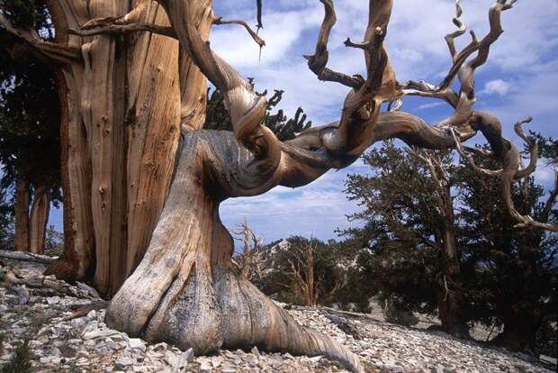Деревья, которых боится само время: самой старой изБристлеконских сосен более 4,7 тысяч лет