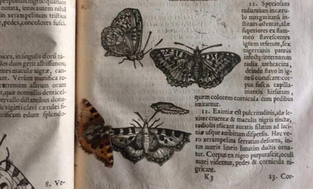 В страницах древнего справочника ученые случайно нашли прекрасно сохранившуюся 400-летнюю бабочку
