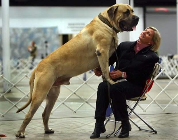 Большой лохматый друг: самые крупные породы собак