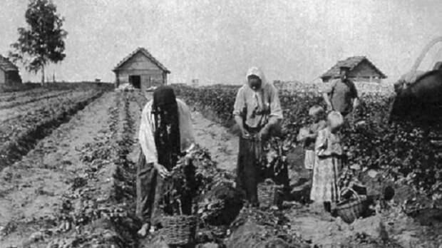Что русские выращивали на огороде до появления картошки
