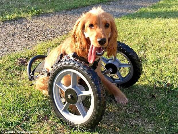 Волонтеры собрали для Ванды деньги, на которые была изготовлена особая инвалидная коляска  инвалид, коляска, собака