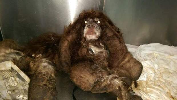 Волонтеры спасли бездомного пса, на котором было около 3 кг спутавшейся шерсти волонтеры, добро, животные, собака, спасение