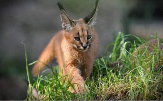 Котёнок степной рыси