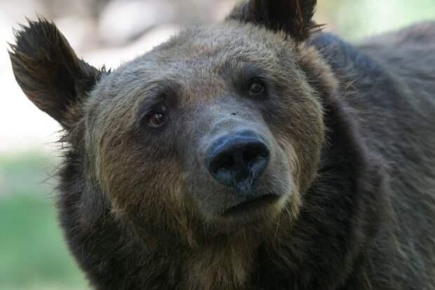 Медведь-попрошайка вышел на красноярскую трассу ради пирожков