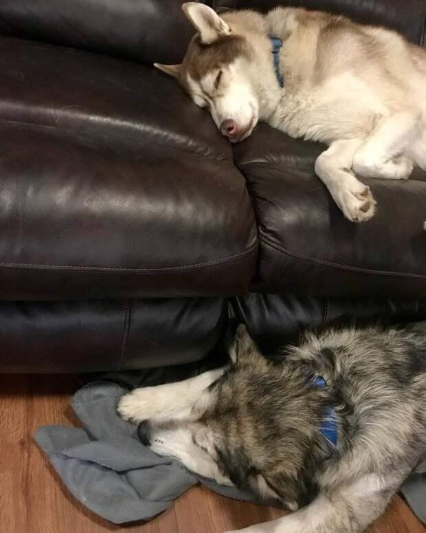 Собаку конфисковали у недобросовестных хозяев. О том, что это маламут, никто не мог и подумать…