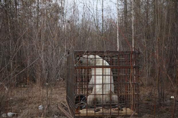 Белого медведя изловили возле населенного пункта в Якутии