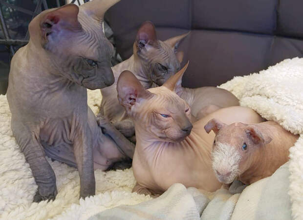 Кошки подружились с морской свинкой и теперь она часть семьи