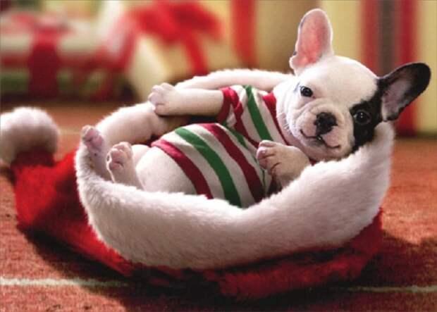 «Любимый комочек шерсти»: 10 фотографий милых щенков, которые станут украшением Нового года и Рождества!