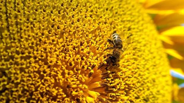 Пчела на цветке подсолнечника - РИА Новости, 1920, 29.09.2020