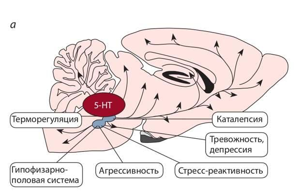 Серотонин (5-НТ) мозга и коррелятивные признаки доместикации. а – полифункциональность серотонина мозга; б – влияние селекции по агрессивному поведению на серотониновую систему, агрессивность и серотонин-зависимые нейроэндокринные системы – гипоталамо-гипо- физарно-надпочечниковую (стрессорная реактивность) и гипоталамо- гипофизарно-половую.