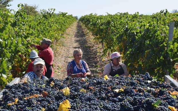 Посмотрим, как теперь Европе понравится молдавский виноград