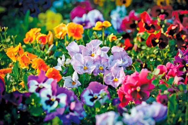 Многолетний садовый цветок Фиалка (Viola)
