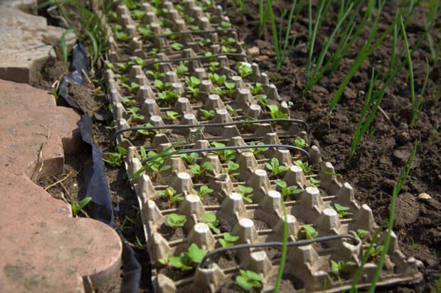 Секрет получения хорошего урожая редиса благодаря уникальному методу посадки