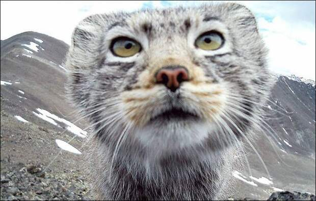 Фото алтайского кота-манула с фотоловушки разлетелись по всему миру