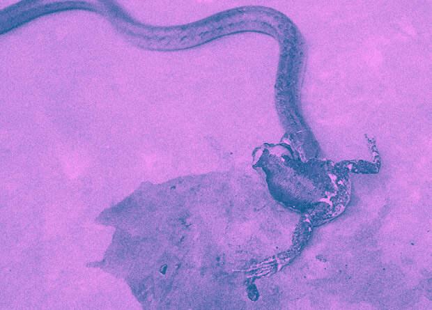 Герпетологи уличили три вида змей в потрошении лягушек и жаб
