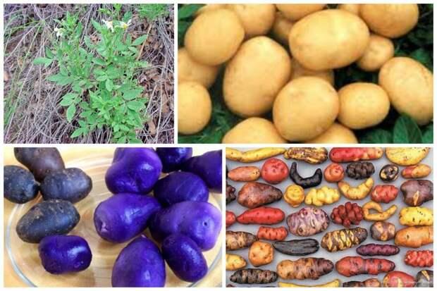 Картофель интересное, овощи, происхождение, факты