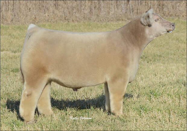 Плюшевые коровы на ферме Айовы