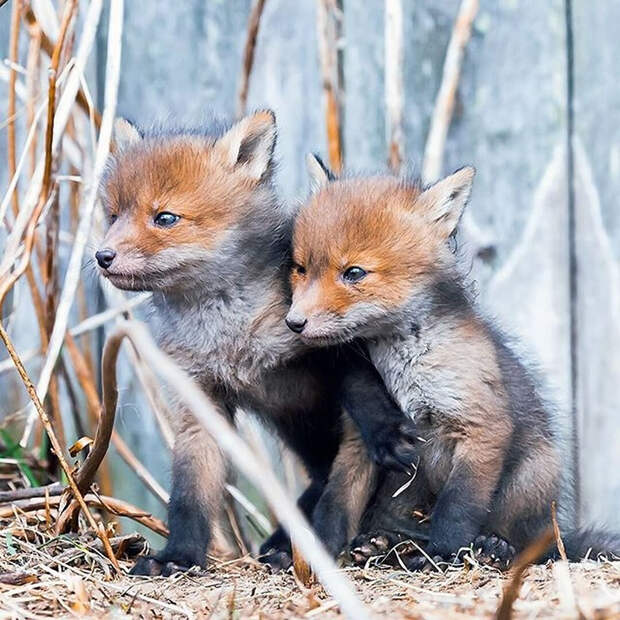 ossi-saarinen-baby-fox-photography-10