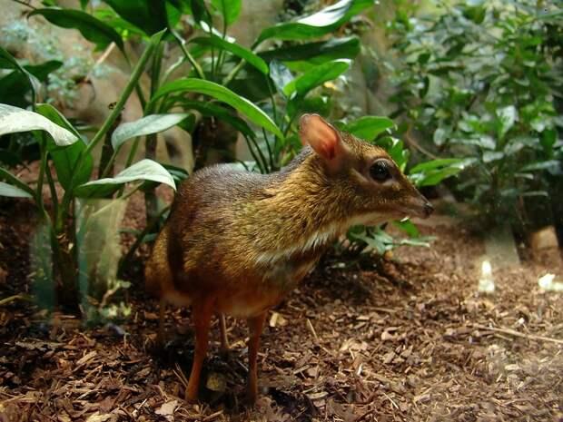 Javamousedeer01 Канчиль   удивительный олень малютка из тропиков