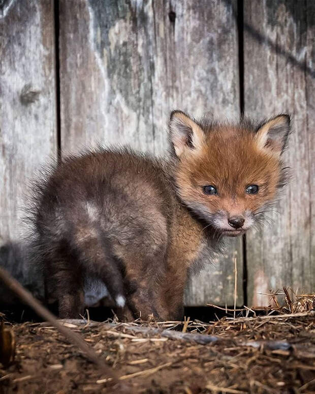 ossi-saarinen-baby-fox-photography-1