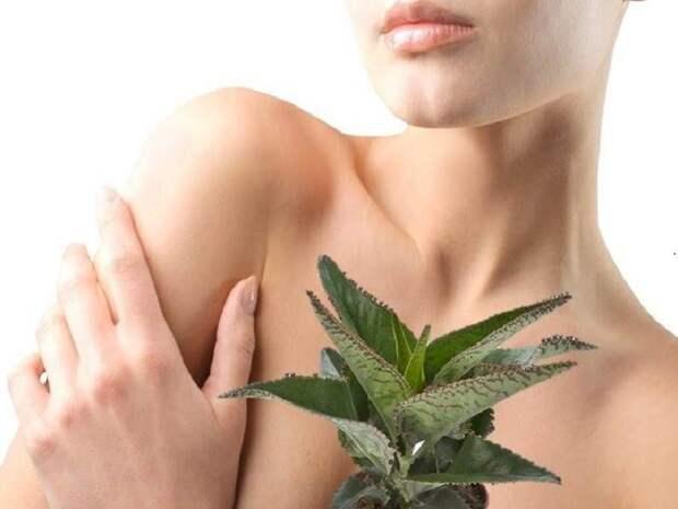 лечебные свойства каланхоэ для кожи