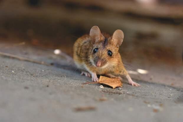 Количество случаев мышиной лихорадки в Удмуртии снизилось более чем в 2 раза