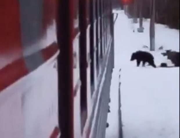 В Костомукше медведь прогуливается рядом с железнодорожным вокзалом