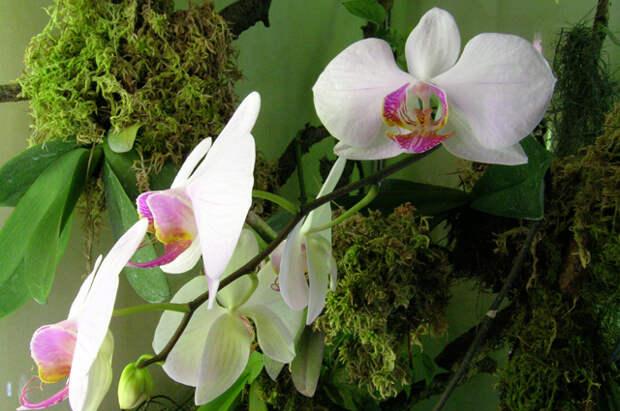 Где лучше всего разместить орхидеи - совет от опытного цветовода