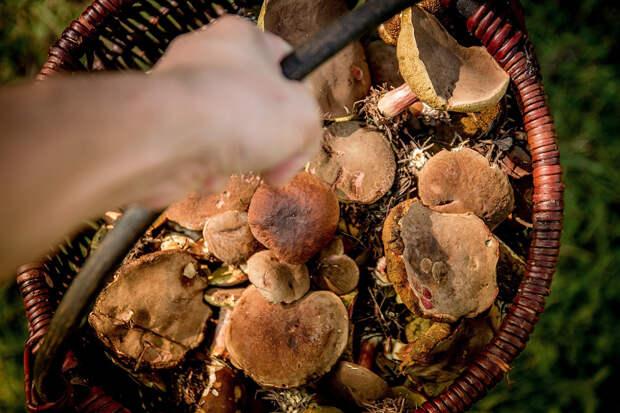 Минприроды напомнило россиянам об их правах на грибы и берёзовый сок
