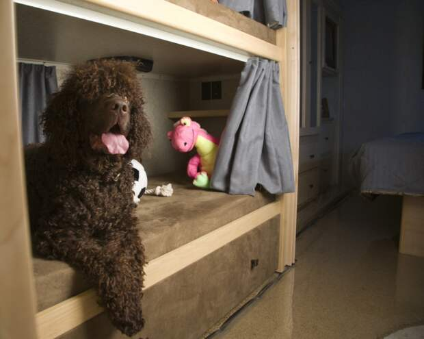 самые умные породы собак: ирландский водяной спаниель. фото