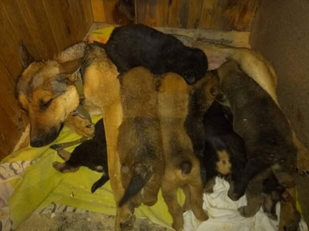 Истощенная собака выкармливала восьмерых щенят на замерзшем озере волонтер, история, овчарка, озеро, собака, щенки