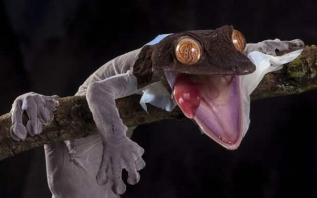 Фантастический листохвостый геккон.