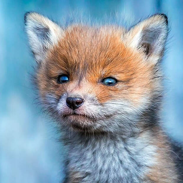 ossi-saarinen-baby-fox-photography-3