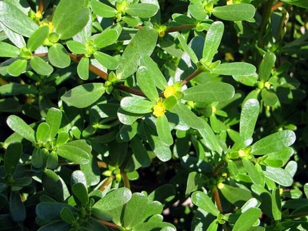 Портулак огородный: 5 простых рецептов приготовления