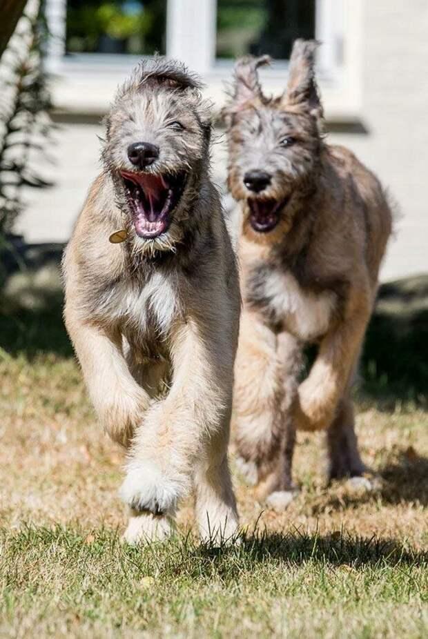 Джазза и Гэндальф домашний питомец, животные, ирландский волкодав, размер, собака