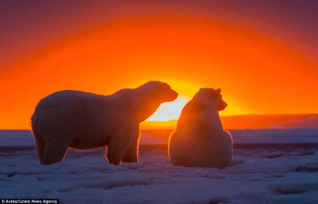 Белые медведи Аляски на закате