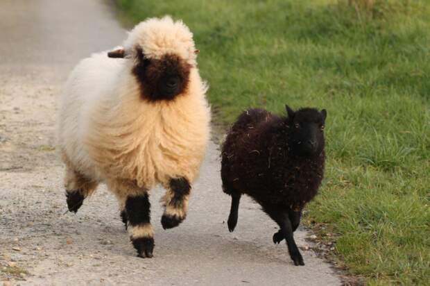 Валлийские черноносые овцы: «Овечки без лица». Что за странная порода с чёрной бездной на месте морды?