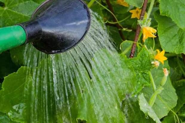 Как поливать огурцы фото