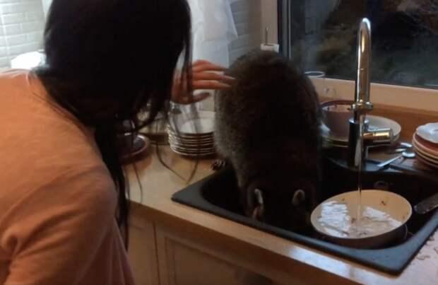 Свежее позитивное видео! Енот забрался в окно дома, чтобы… помыть хозяевам грязную посуду!