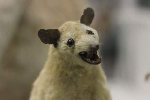 В Зоологическом музее собрали чучела животных Петра I. Знакомьтесь: жеребец Лизетта, терьер (тоже) Лизетта и быкодав Тиран