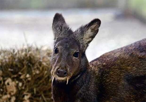 В Афганистане замечены олени-вампиры