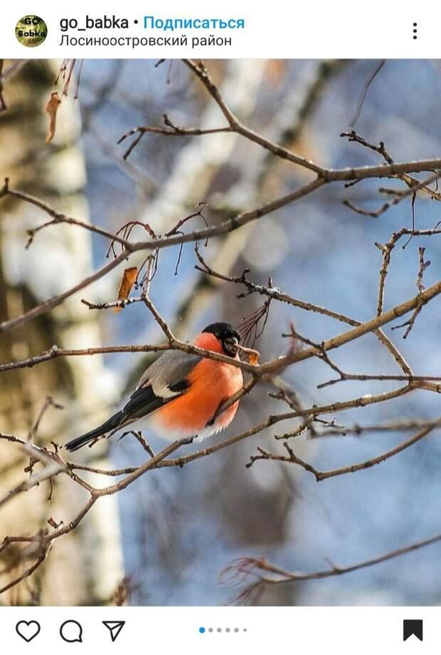 Фото дня: в парк «Торфянка» прилетел снигирь
